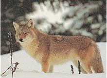 Tru Life #490 Kojote