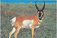 Tru Life #114 Antilope