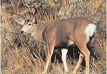 Tru Life #109 Hirsch Mule Deer