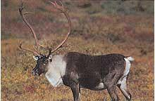 Tru Life #495 Caribou